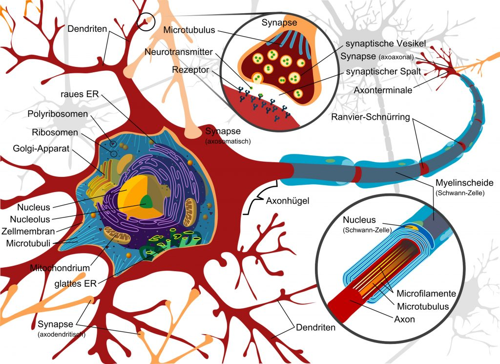 nerve-cell-drawing